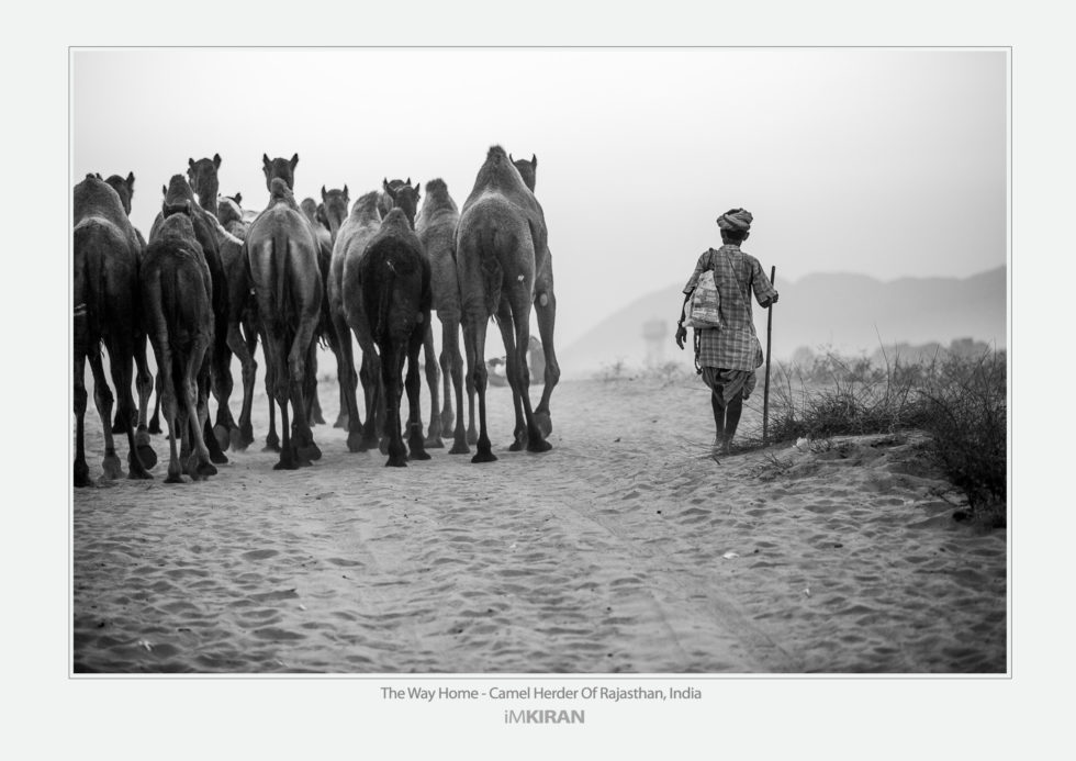 Title: The Way Home, Camel Herder Of Rajasthan - India